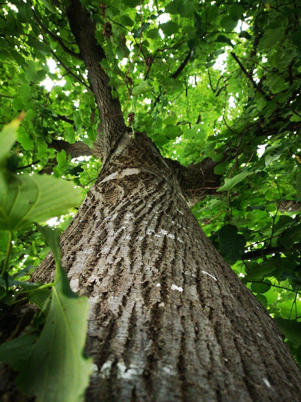 tree, leaves, nature